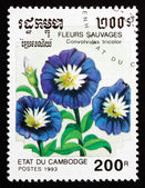 Postage stamp Cambodia 1993 Dwarf Morning Glory, Flower — Stock Photo
