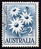 Postage stamp Australia 1957 Flannel Flower, Herbaceous Shrub — Stock Photo