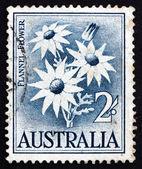 Postage stamp Australia 1957 Flannel Flower, Herbaceous Shrub — Stock Photo