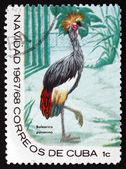 Kuba znaczek 1967 czarny koronowany żuraw, ptak — Zdjęcie stockowe