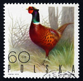 Postage stamp Poland 1970 Ringnecked Pheasant, Game Bird — Stock Photo