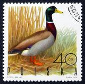 Postage stamp Poland 1970 Mallard Drake, Game Bird — Stock Photo