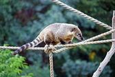 South American Coati — Stock Photo