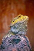 Dragão barbudo central — Foto Stock