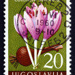 Postage stamp Yugoslavia 1957 Autumn Crocus, Colchicum Autumnale — Stock Photo