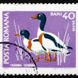 Postage stamp Romania 1968 Common Shelduck, Waterfowl Bird — Stock Photo