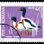 Postage stamp Romania 1968 Common Shelduck, Waterfowl Bird — Stock Photo #31122615