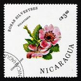 Postage stamp Nicaragua 1986 Sweet Briar, Rosa Eglanteria, Flowe — Stock Photo