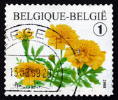 Postage stamp Belgium 2008 Tagetes Portula, Flowering Plant — Stock Photo