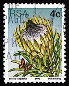Postage stamp South Africa 1977 Long-leaf Sugarbush, Plant — Stock Photo