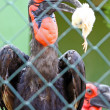 Soutern Ground Hornbill — Stock Photo