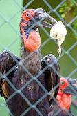 Hornbill macinato meridionali — Foto Stock