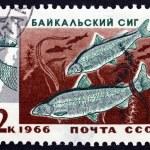 Postage stamp Russia 1966 Two Baikal Whitefish — Stock Photo