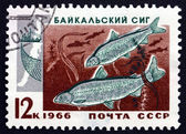 Postage stamp Russia 1966 Two Baikal Whitefish — Stock Photo