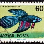 Postage stamp Hungary 1962 Siamese Fighting Fish, Tropical Fish — Stock Photo #43236771