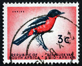 Postage stamp South Africa 1961 Crimson-breasted Shrike, Bird — Stock Photo