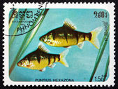 Postage stamp Cambodia 1985 Six-banded Tiger Barb, Fish — Stok fotoğraf