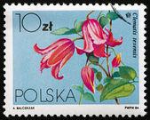 Postage stamp Poland 1984 Crimson Clematis, Climbing Vine — Stock Photo