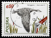 Postage stamp Poland 1981 Greylag Goose, Bird — Stock Photo