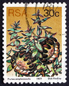 Postage stamp South Africa 1977 Clasping-leaf Sugarbush, Floweri — Foto de Stock