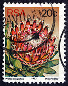 Postage stamp South Africa 1977 Queen Sugarbush, Flowering Plant — Foto de Stock