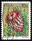 Postage stamp South Africa 1977 Ladismith Sugarbush, Flowering P — Stock Photo