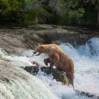 Bear on Alaska — Stock Photo #12295332