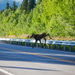 Moose on the road — Stock Photo