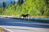 лось на дороге — Стоковое фото