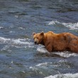 Bear on Alaska — Stock Photo #12333060