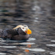 Puffin — Stock Photo #12333342