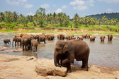 Elephant on Sri Lanka — Stockfoto