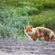 Fox on nature — Stock Photo