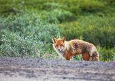 Fox on nature — Stock Photo