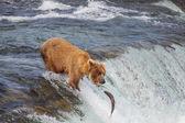 Niedźwiedź na Alasce — Zdjęcie stockowe
