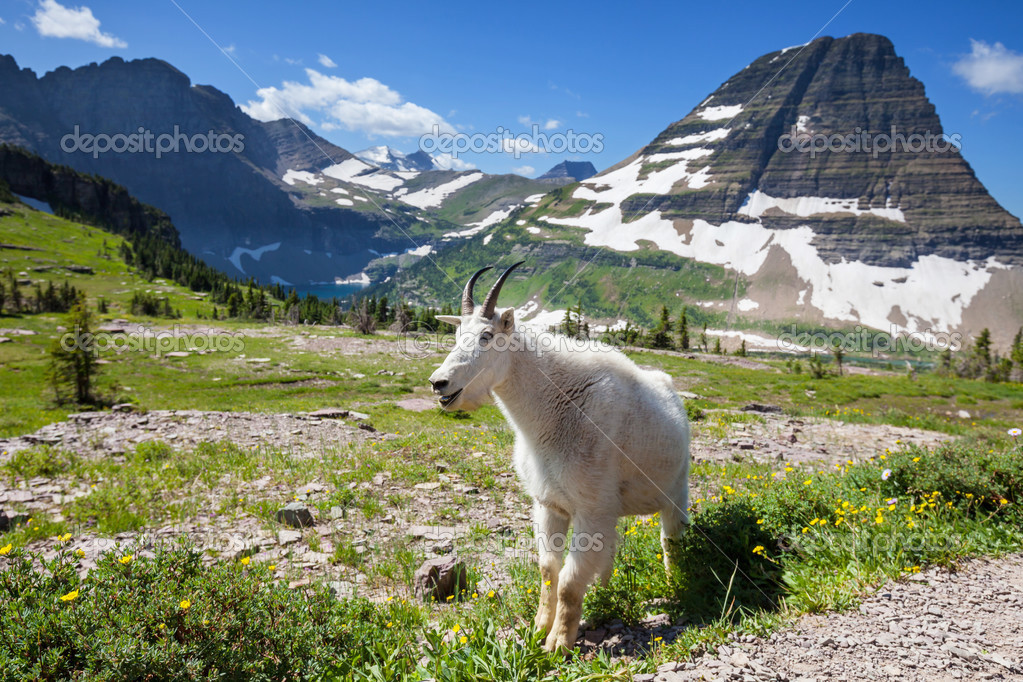 Goat in Glacier National Park,USA — Stock Photo #12752748