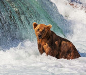 Bear on Alaska — Stock fotografie
