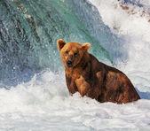 Urso no alasca — Foto Stock