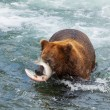 Bear on Alaska — Stock Photo #13129655