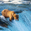 Bear on Alaska — Stock Photo #13129757