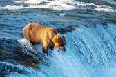 Tragen auf alaska — Stockfoto