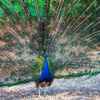 Peacock — Stock Photo #13130000