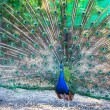Peacock — Stock Photo #13211775