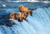 Bear su alaska — Foto Stock