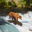 Bear on Alaska — Stock Photo #13452969