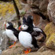 Puffin — Stock Photo #13453090