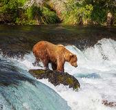 медведь на аляске — Стоковое фото