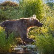 Bear on Alaska — Stock Photo #13509252