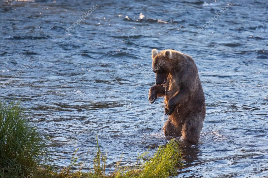 Brown bear on Alaska — Stock Photo #13509264