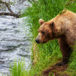 Bear on Alaska — Stock Photo #13806776